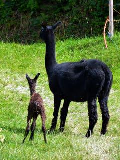 Schon kurze Zeit nach der Geburt geht es auf den eigenen Beinen mit dem Mami nach Hause in den Stall. (Bild: Josef Lustenberger)