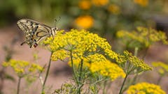 Blühender Dill. Die Raupen des Schwalbenschwanzes habe dieses Kraut zum Fressen gern. (Bild: Priska Ziswiler-Heller, 13. Juli 2018)