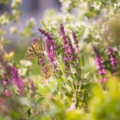 Schwalbenschwanz im Blumengarten. (Bild: Priska Ziswiler-Heller)