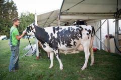 Brian Dähler aus St. Gallen bringt die Kuh mit Spray zum Glänzen. (Bild: Ralph Ribi)