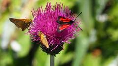 Gipfeltreffen der Schmetterlinge. Bild: Franz Stalder
