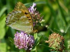 Ein Kaisermantel-Weibchen, hier gut erkennbar auf den Flügelunterseiten. (Bild: Josef Lustenberger)
