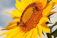 Sonnenblumen sind wertvoll für die Bienen. (Bild: Irene Wanner, Melchnau, 17. Juli 2018)
