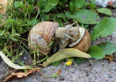 Liebevolle Begegnung zweier Weinbergschnecken in meinem Garten in Zug (Bild: Gabriel Jenny)