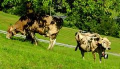 Der Schattenwurf des Blätterdaches zeichnet Scherenschnitt-Muster auf diese Kühe. (Bild: Sepp Bernasconi, Buochs, 13. Juli 2018)