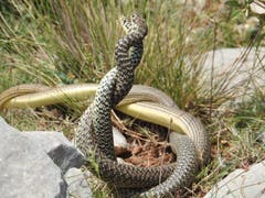 Nach einem kurzen Schock hat die Freude überwogen. Dieses Schlangenpaar (Nattern) haben wir auf der Wanderung in Kreta auf dem Karfi in der Lassithi Ebene in Griechenland entdeckt. Bild: Beat Borner)