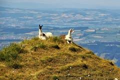 Lamas bei der Arbeit: Zwei Lamas bewachen eine weidende Schafherde auf dem Schimbrig. (Bild: Paul von Allmen, Schimbrig, 16. Juli 2018)