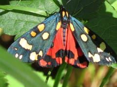 Schönbär Schmetterling beim Sonnetanken. (Bild: Peter Imboden, Stanserhorn, 16. Juni 2018)