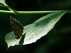 """Der Schmetterling """"Waldbrettspiel"""" sonnt sich im Dunkeln. (Bild: Josef Lustenberger, Wolhusen, 16. Juli 2018)"""