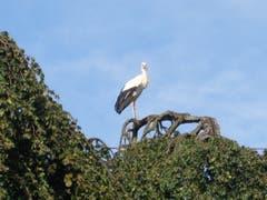 Ein Storch geniesst die Aussicht in Egnach. (Bild: Silvia Stathakis)