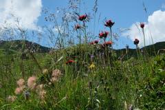 Ein bunter Strauss aus der Mäuseperspektive auf Alp Panüöl. (Bild: Franz Häusler)