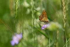 Schmetterling in der Buntbrache beim Obholz. (Bild: Gillas Willi)