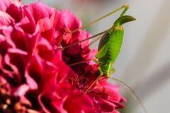 Kopfstand am Morgen vertreibt Kummer und Sorgen.Sägeschwanzheuschrecke auf den Dahlien im Garten. (Bild: Roland Hof)