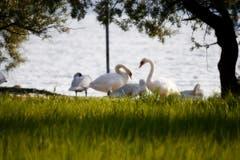 Eine Schwanenkolonie geniesst die Morgensonne am Bodensee. (Bild Toni Sieber)