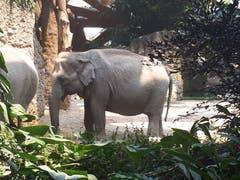 Elefant im Zoo Zürich. (Bild: Heinrich Inderbitzin)