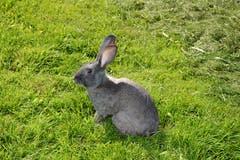 Dieses Kaninchen, noch ohne Namen, gehörte zu den Statisten. (Bild: Beat Lanzendorfer)
