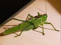 Überraschender Besuch einer Heuschrecke auf dem Nachttisch beim Zubettgehen! Für viele sicher kein Kuscheltier. (Bild: Josef Lustenberger)