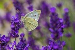 Ein Kohlweissling im Lavendel. (Bild: Franziska Hörler)