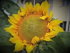 Die Sonnenblume strahlt mit der Sonne um die Wette. (Bild: Frieda Bolliger)