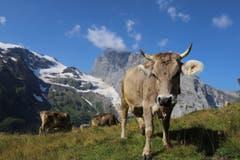 Eine gwondrigi Kuh mustert den Hobbyfotografen auf der Fürenalp ob Engelberg. (Bild: Xaver Husmann (20. Juli 2018))