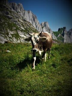Dieses Rind geniesst den Sommer auf der Alp mit prächtiger Kulisse beim Zwinglipass. (Bild: Frieda Bolliger)