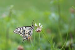 Ein Schmetterling in der Sommerwiese. (Bild: Franziska Hörler)