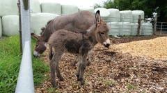 Der kleine Esel ist zwei Tage alt. (Bild: Erich Ottiger (Rothenburg, 21. Juli 2018))