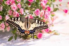 Schmetterling, frisch geschlüpft, lässt die Flügel trocknen. (Priska Ziswiler-Heller (Ettiswil, 22. Juli 2018))