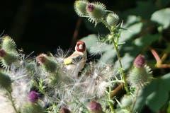 Ein Distelfink mitten in Disteln am Waldrand oberhalb Abtwil. (Bild: Wolfgang Ponader)