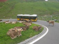 Idylle pur auf und neben der Passstrasse vom Klausenpass her Richtung Urnerboden. Die Kühe lassen sich trotz Verkehr nicht aus der Ruhe bringen. (Bild: Daniel Baumann, 4. Juli 2018)