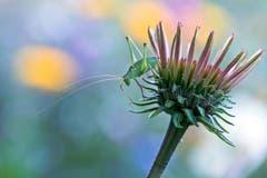Ein hübscher Garten-Fund in Wittenwil! Die punktierte Zartschrecke (Leptophyes punctatissima) auf dem Sprung. (Bild: Mirjam Dentler)