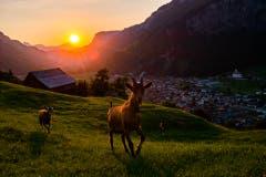 Das heisse Wetter hat auch Vorteile. Wunderschöner Sonnenuntergang in Muotathal mit gwunderigen Geissli. (Bild: Tina Schelbert)
