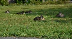 Nach dem Morgenessen auf der Wiese ruhen sich die Enten auf dem gemütlichen Gemeindehausplatz am See aus. (Karl Odermatt (Hergiswil, 26. Juli 2018))