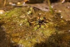 Bei dieser Hitze haben auch die Wespen Durst. Diese Wespe landete auf schwimmenden Algen und trinkt gerade aus einem Bach. (Bild: Petra Jung (Hämikon, 27. Juli 2018))