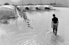 Eine Tomatenkultur in der Magadinoebene steht unter Wasser (Bild: Karl Mathis / Keystone, 5. Juli 1978)