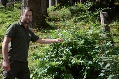 Wildhüter Silvan Eugster zeigt eine (bereits ältere) Verbissstelle an einem jungen Baum, die Hirsche hinterlassen haben. (Bild: Jessica Nigg)