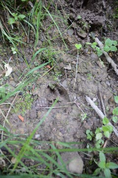 Wildspuren am Wegesrand: Hier querte ein Hirsch die Waldstrasse in Richtung Berg, wo er den Tag verbringen wird. (Bild: Jessica Nigg)