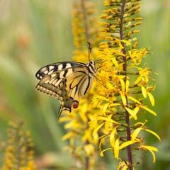 Papilo Machaon - Schwalbenschwanz. Der wahrscheinlich schönste einheimische Schmetterling (Bild: Priska Ziswiler-Heller)