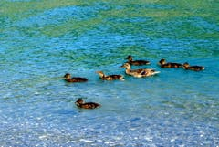 Entenfamilie unterwegs, gesehen in Buochs (Bild: Sepp Bernasconi)