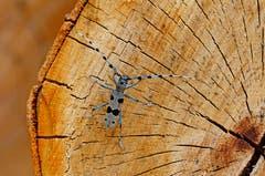 Der Alpenbockkäfer ist einer der prächtigsten Käfer der Schweiz. Die Körperlänge beim Weibchen (ohne Fühler) misst knapp 4cm. (Bild: Marianne Schmid)