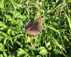 Dieses hübsche «Kleine Ochsenauge» wurde auf dem Zugerberg (Ewegstaffel) mit der Kamera eingefangen. Seine bevorzugte Blume ist die Skabiose. (Bild: Christa Bonati)