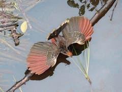 Das Riesenhuhn Hoatzin breitet zum Sonnenbaden seine Flügel aus.