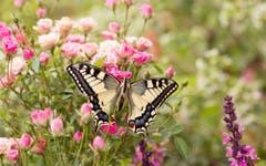Gute Reise, kleiner Schmetterling! (Bild: Priska Ziswiler-Heller)