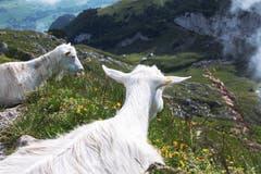 Die Appenzeller-Ziegen begrüssen die Wanderer auf dem Weg zum Schäfler. (Bild: Nicolas Giovanettoni)