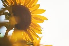 Sonnenblumen im Licht der Abendsonne. (Bild: Nicolas Giovanettoni)