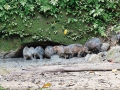 Eine Horde Wildschweine verhindert, dass sich die Aras zeigen. (Bild: Bilder: Roman Kühne)