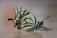 Nach der Verpuppung sind die ersten Schmetterlinge geschlüpft und in die Freiheit entflogen. (Bild: Xaver Husmann)