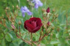 Die Rose, Königin der Blumen. (Bild: Ruedi Dörig)