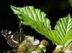 Das Landkärtchen (Sommerform) sucht Nahrung auf Brombeerblüten. (Bild: Josef Lustenberger, Wolhusen)