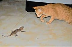 David gegen Goliath, oder Katze und Tokeh. (Bild: Dieter Joos)